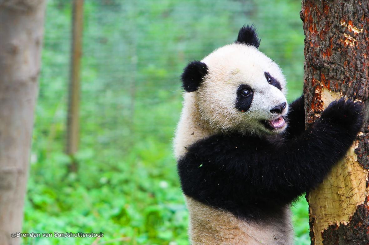 دیدار از مرکز نگهداری پانداها در تور چین
