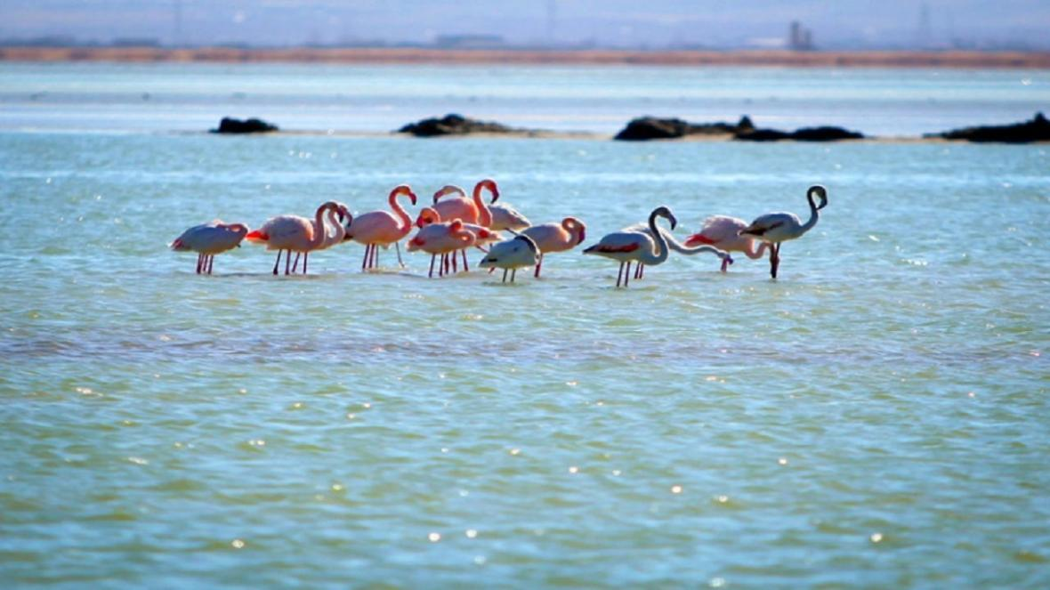 فلامینگو ها پس از 5 سال به دریاچه ارومیه بازگشتند