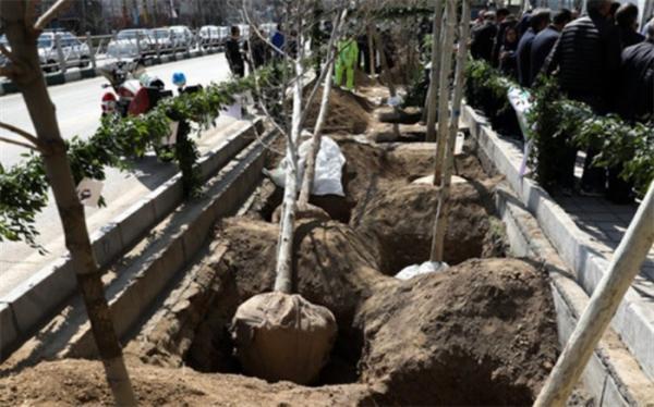 کاشت 3500 درخت چنار کهنسال در خیابان ولیعصر